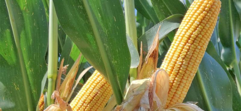 Consorzio agrario cremona venerd in campo con gradella for Consorzio agrario cremona macchine agricole usate